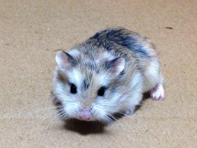 Hamster Roborovski<p>(<i>Phodopus Roborovski</i>)