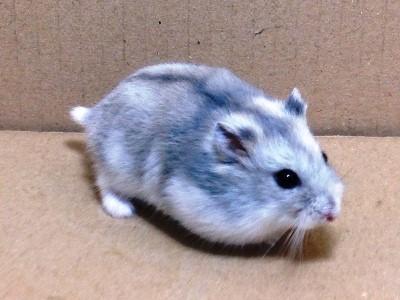 Hamster Siberiano<i>(Phodopus Sungorus</i>)