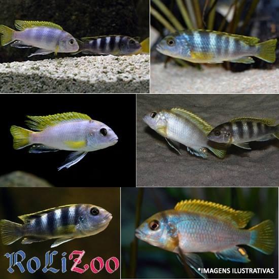 Ciclideo Perlmutt<br>(<i>Labidochromis Sp. Perlmutt</i>)