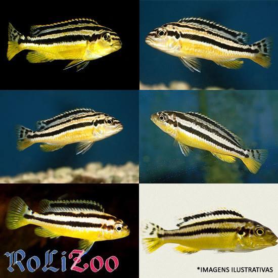 Ciclideo Auratus<br>(<i>Melanochromis Auratus</i>)