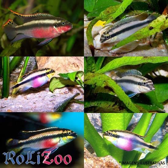 Kribensis<br>(<i>Pelvicachromis Pulcher</i>)
