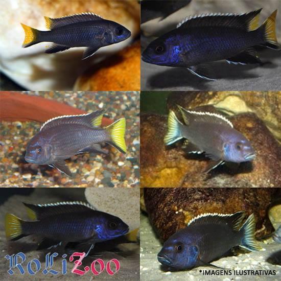 Ciclideo Black Tanzania<br>(<i>Pseudotropheus Acei Black Tanzania</i>)