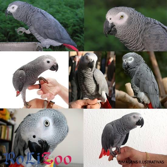 <b>Papagaio Cinzento</b><br>(<i>Psittacus erithacus</i>)