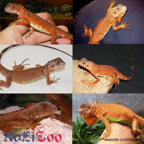 <b>Iguana Vermelha</b><br>(<i>Iguana Iguana</i>)