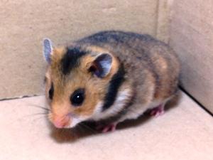 Hamster Sírio<br>(<i>Mesocricetus Auratus)