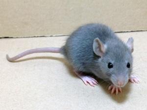 Ratazanas Domésticas<br>(<i>Rattus Norvegicus</i>)