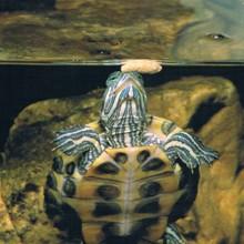 Alimento para Tartarugas