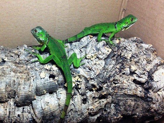 <b>Iguana Verde</b><br>(<i>Iguana Iguana</i>)