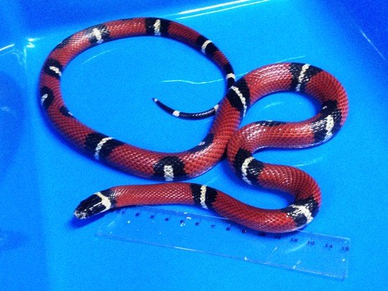<b>Cobra Falsa Coral Sinaloae</b><br>(<i>Lampropeltis triangulum sinaloae</i>)