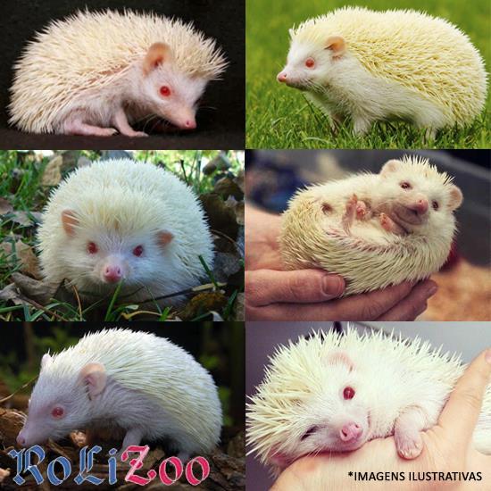 """<b>Ouriço Pigmeu Africano</b> """"Albino""""<br>(<i>Atelerix albiventris</i>)"""