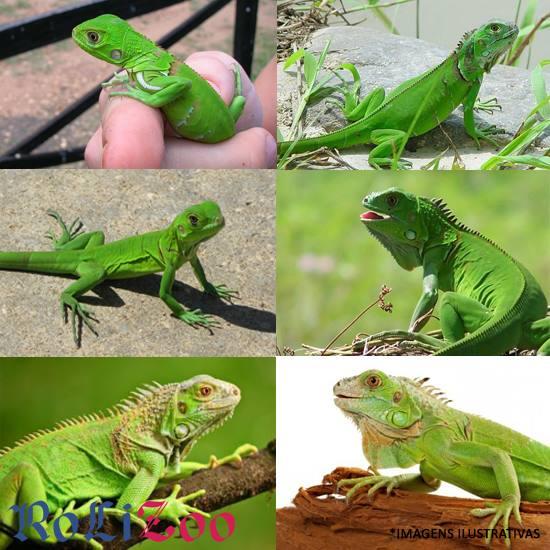 Iguana Verde<br>(Iguana Iguana)