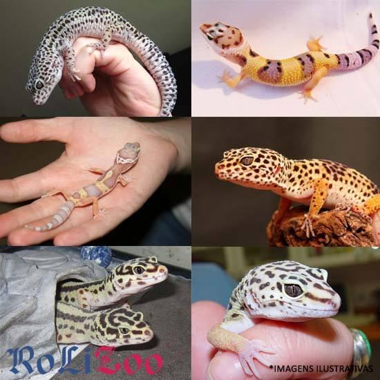 <b>Gecko Leopardo</b><br>(<i>Eublepharis Macularius</i>)