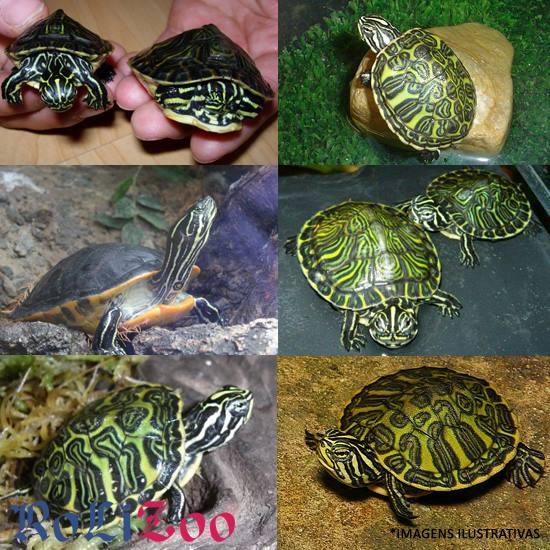 <b>Tartaruga Nelsoni</b><br>(<i>Pseudemys Nelsoni</i>)
