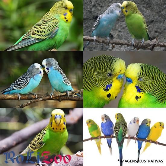 <b>Periquito Australiano ou Comum</b><br>(<i>Melopsittacus undulatus</i>)