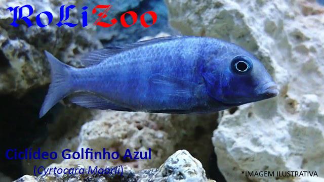 Ciclídeo Golfinho Azul (Cyrtocara Moorii)