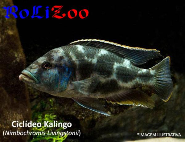Ciclídeo Kalingo (Nimbochromis Livingstonii)
