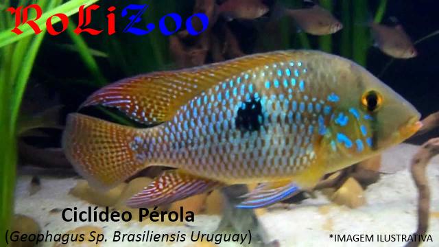 Ciclídeo Pérola (Geophagus Sp. Brasiliensis Uruguay)