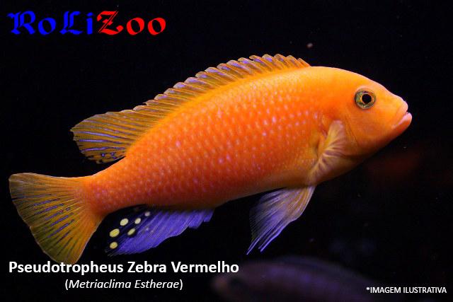 Pseudotropheus Zebra Vermelho (Metriaclima Estherae)
