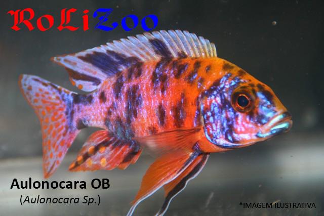 Aulonocara OB (Aulonocara Sp.)