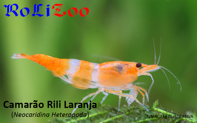 Camarão Rili Laranja (Neocaridina Heteropoda)