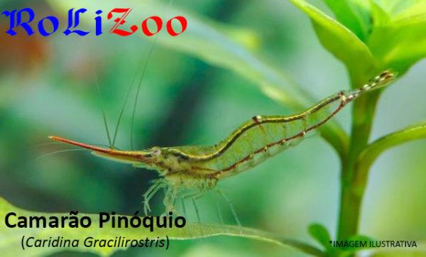 Camarão Pinóquio (Caridina Gracilirostris)