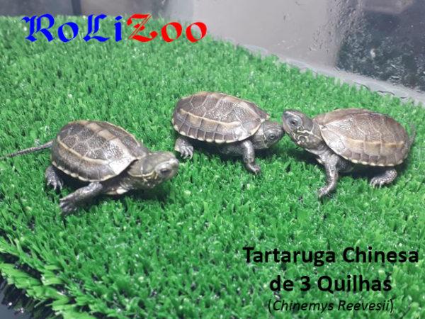 Tartaruga Chinesa de 3 Quilhas (Chinemys Reevesii)