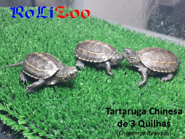 Tartaruga Chinesa de 3 Quilhas<br>(Chinemys Reevesii)