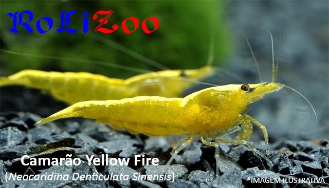Camarão Yellow Fire (Neocaridina Denticulata Sinensis)