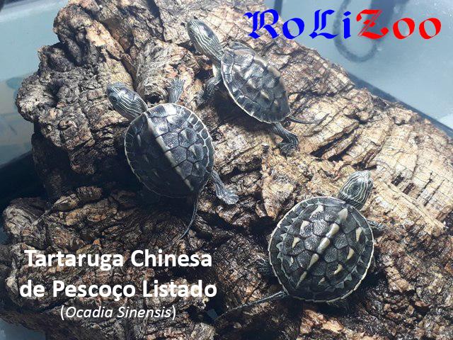 Tartaruga Chinesa de Pescoço Listado<br>(Ocadia Sinensis)