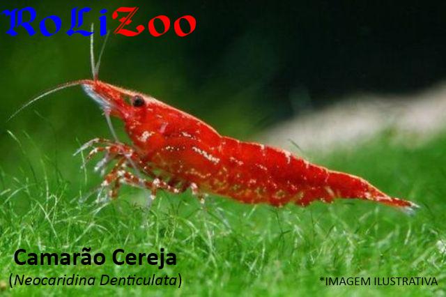 Camarão Cereja (Neocaridina Denticulata)