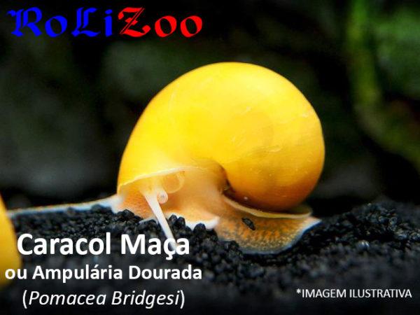 Caracol Maça/ Ampulária Dourada (Pomacea Bridgesi)