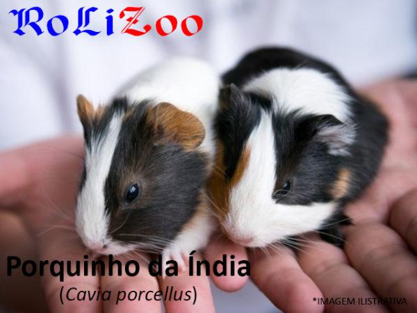 Porquinho-da-índia (Cavia Porcellus)