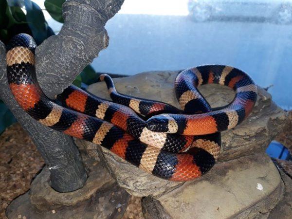 Cobra Falsa Coral Campbell (Lampropeltis triangulum campbelli)