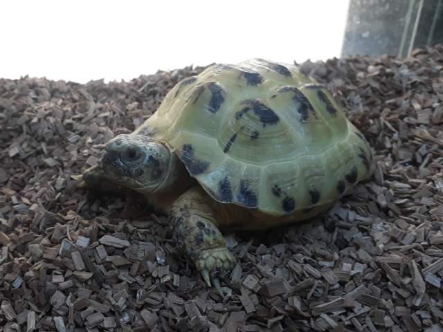 Tartaruga Russa (Agrionemys (Testudo) Horsfieldii)