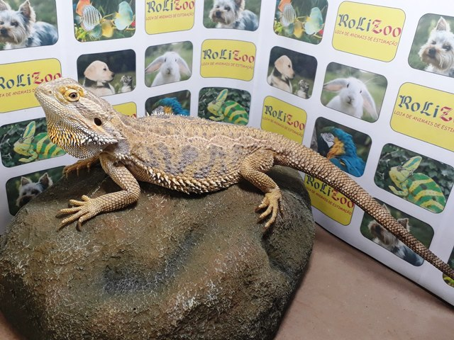 Dragão Barbudo (Pogona Vitticeps) Macho Grande