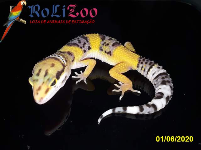 "Gecko Leopardo ""Tangerine""<br>(Eublepharis Macularius)"