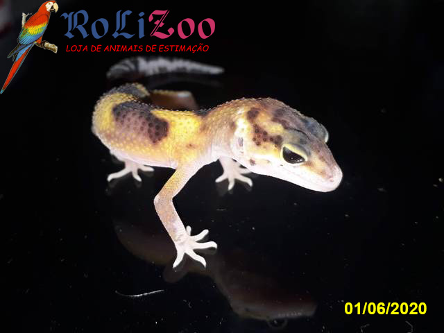 "Gecko Leopardo<br>""Green Tangerine Eclipse""<br>(Eublepharis Macularius)"