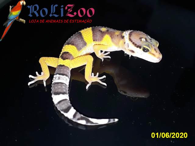 "Gecko Leopardo<br>""Green Tangerine""<br>(Eublepharis Macularius)"