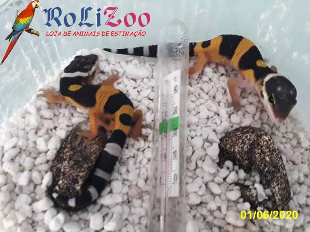 "Gecko Leopardo ""Tangerine""<br>(Eublepharis Macularius)<br>{Brevemente}"