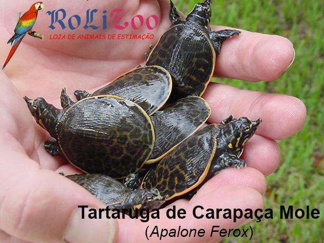 Tartaruga de Carapaça Mole<br>(Apalone Ferox)