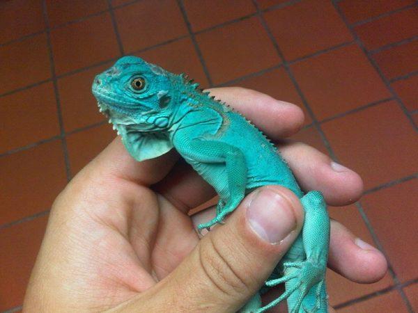 Iguana Azul<br>(<em>Iguana Iguana</em>)