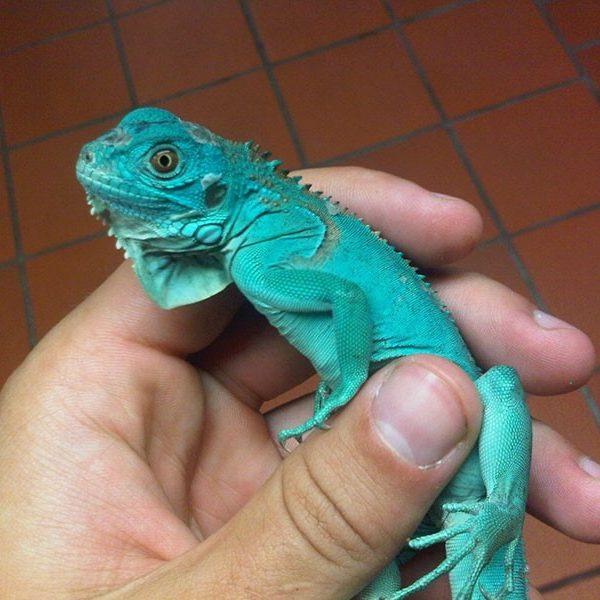 Iguana Azul<br>(Iguana Iguana)