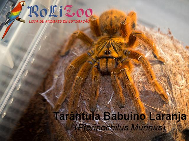 Tarântula Babuíno Laranja<br>(Pterinochilus Murinus)