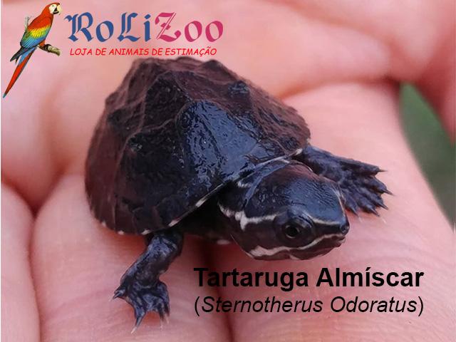 Tartaruga Almíscar<br>(Sternotherus Odoratus)