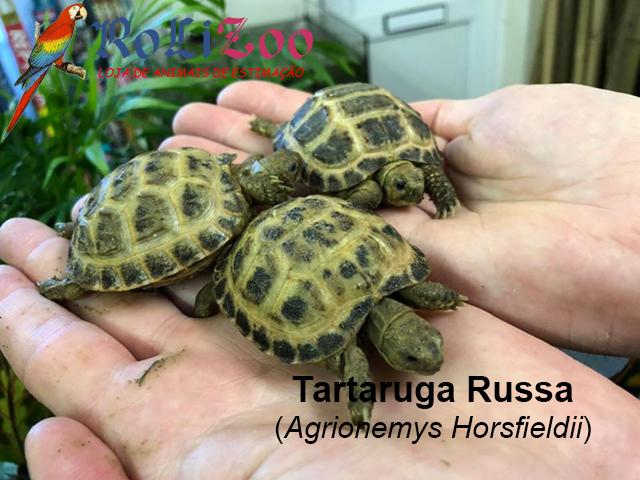 Tartaruga Russa<br>(Agrionemys Horsfieldii)