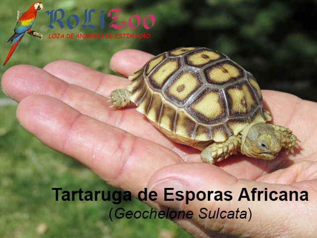 Tartaruga de Esporas Africana<br>(Geochelone Sulcata)