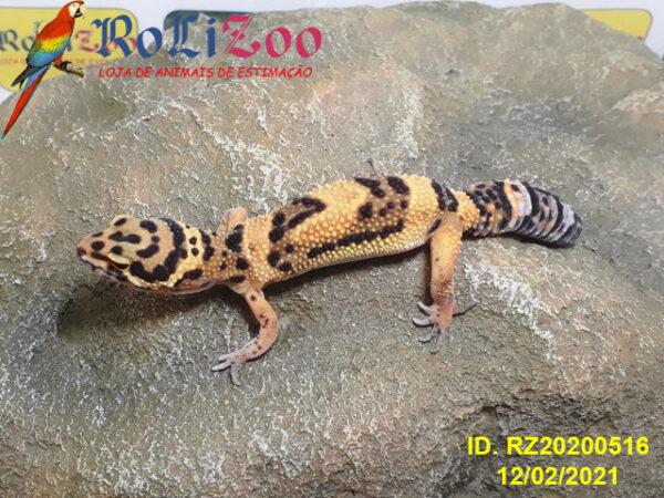 "Gecko Leopardo ""Bold Tangerine""<br>(Eublepharis Macularius)<br>{imperfeito mas saudável}"