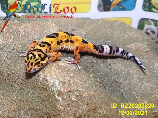 "Gecko Leopardo ""Bold Tangerine""<br>(Eublepharis Macularius)<br>RESERVADO"