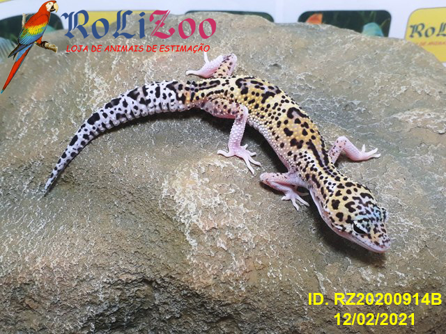 "Gecko Leopardo ""Eclipse het Blizzard pos Emerine""<br>(Eublepharis Macularius)"