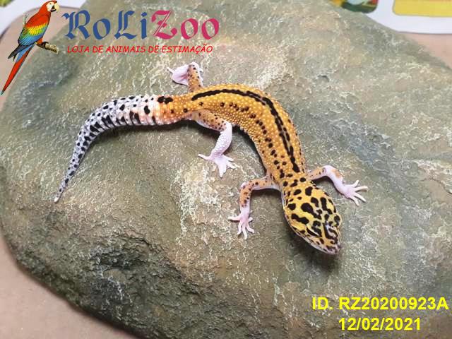 "Gecko Leopardo<br>""Eclipse Reverse Stripe Pied""<br>(Eublepharis Macularius)"